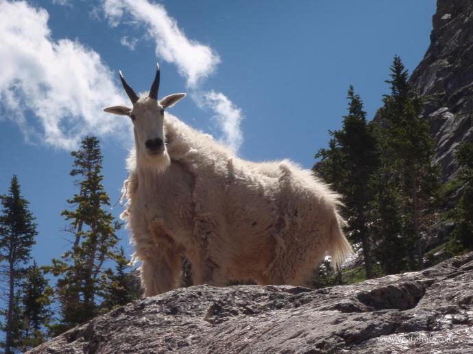 20100704-Piney Goat-01-w