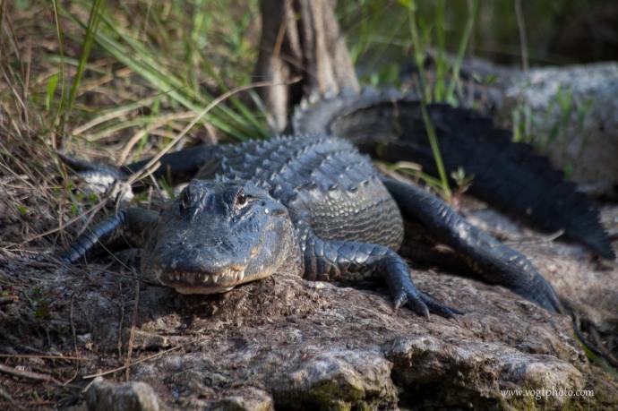 Staring Contest - Big Cypress National Preserve, FL
